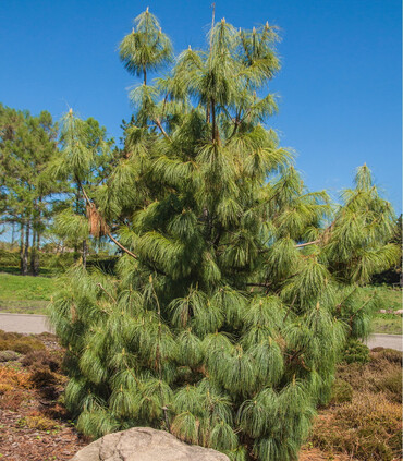 Mexican Weeping Pine