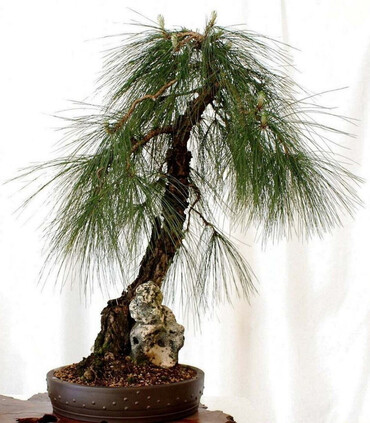 Mexican weeping pine bonsai in small black pot.