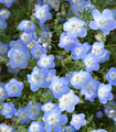 Bright display of blue Baby Blue Eyes flowers growing in the garden.