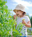 Photo of child picking fresh peas from a pea bush in the garden.