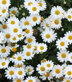 Masses of white Pyrethrum daisies with golden centers growing in the garden.