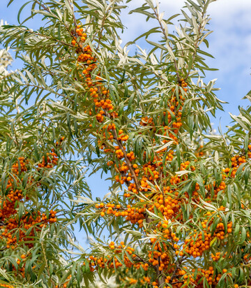 Milkweed Orange