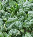 Wild lettuce Lactuca virosa