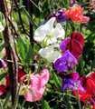 Pink, White, Lilac and Magenta colored sweet pea flowers growing on vines in the garden.