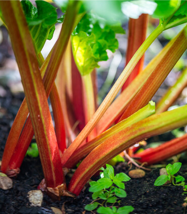 Close up photo of bright red rhubarb stalks growing in the garden.