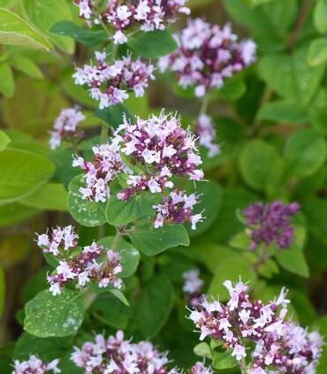 Oregano Common Italian Flowers Origanum vulgare