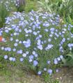 Blue Flax flowers Linum lewisii