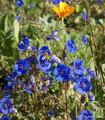 California bluebell flowers Phacelia campanularia