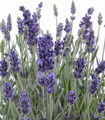 English Lavender Lavandula angustifolia flowers with silver grey leaves.
