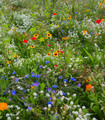 Colorful mix of low growing flowers in a meadow.