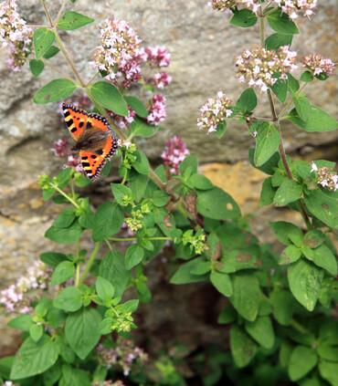 Oregano Common Italian Origanum vulgare with Butterfly.