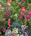 Colorful mixture of flowers from the Partial Shade Flower Mix.