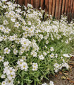 Snow in Summer. Pretty little white low growing Cerastium tomentosum flowers growing in the garden along a wooden fence.