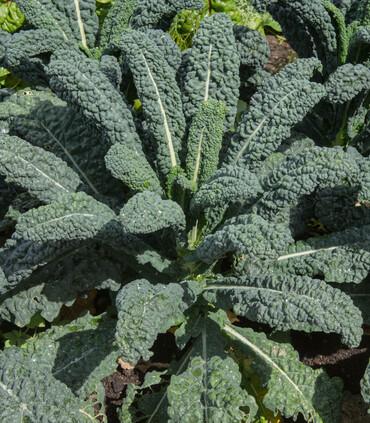 Kale Italian Lacinato Nero di Toscana.
