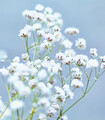 Masses of tiny white flowers spray out on fine branches from a slender stem.