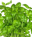 Large sweet basil leaves and branches ripe and ready to harvest for seasoning Italian cuisine.