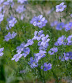 Close-up of bright blue native wildflower flax flowers growing on slender green stems.