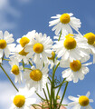 Bunch of white and yellow Roman Chamomile herb flowers with a blue sky background.
