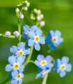 Forget Me Not (Water)