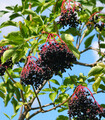 Elderberries growing from branches full of elderberry fruits with a blue sky background.