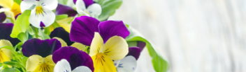 Bouquet of Pansy Flowers