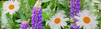 Lupins and Shasta Daisy Flowers