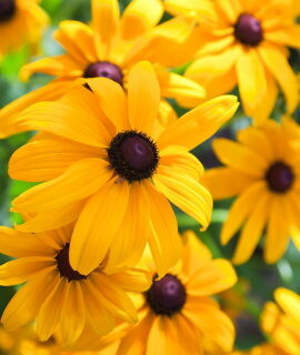 Black Eyed Susan Sale
